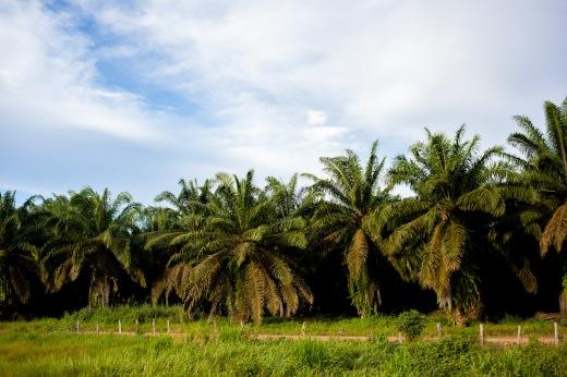 Plantação de dendê ao longo da PA-150. Foto: Rafael Araújo