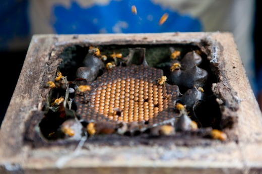 As abelhas nativas da Amazônia são as principais polinizadoras das árvores frutíferas da região, entre elas o açaí (Foto: Rafael Araújo)
