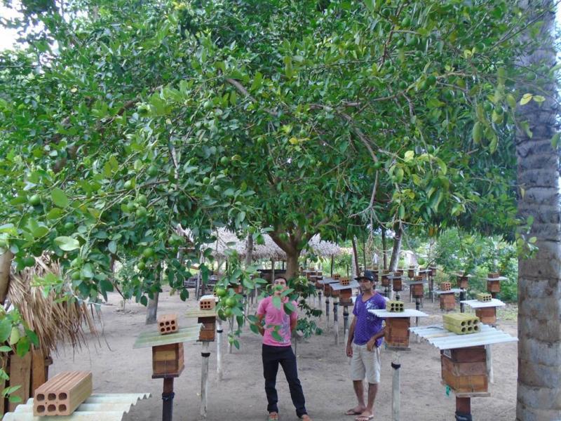 Árvores frutíferas acima dos meliponários na comunidade Lages (Monte Alegre, PA) apresentam grande quantidade e tamanho de frutos, indicativos da