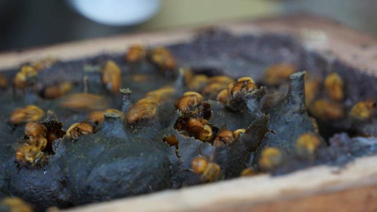 caixa-de-uruca-amarela_melipona-flavolineata