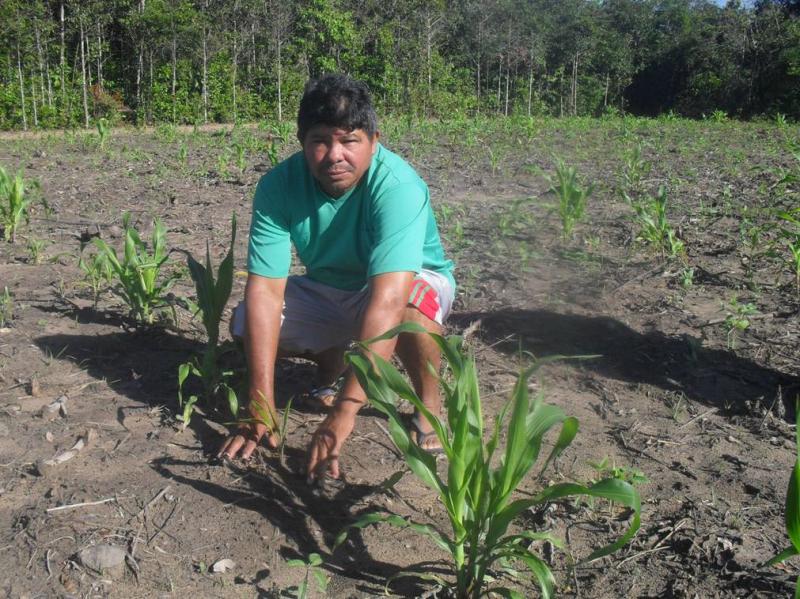 Sr Bernardo faz a preparação e plantio de área de sistemas agroflorestais na comunidade de Pingo D_Água (Curuçá, PA), que inclui o açaí plantado entre fileiras de milho. Curuç