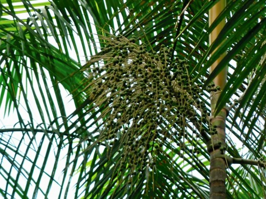 Projeto buscar o fortalecimento dos Arranjos Produtivos Locais do açaí no Marajó