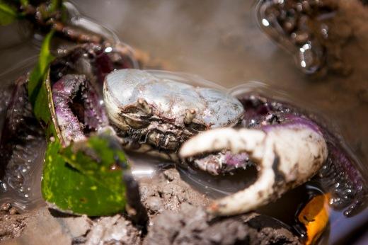 Alunos destacaram  ciclo de vida, reprodução e engorda do caranguejo