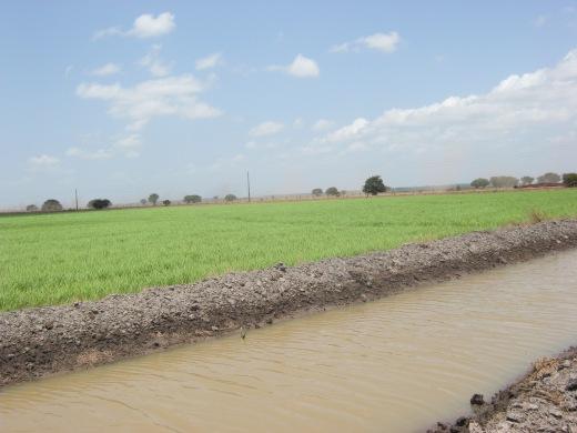 Campos de arroz em Carchoeira do Arari, no Marajó.