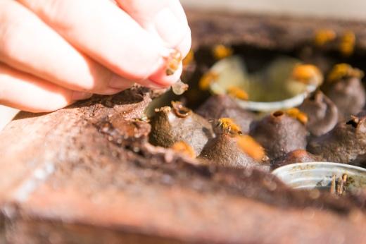 A caixa de abelhas nativas pode ser aberta com as mãos desprotegidas, sem risco de picada. Foto: Rafael Araújo