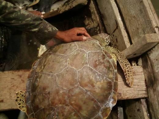 Pescador realizando soltura de tartaruga verde encontrada em curral