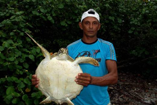 Tartaruga da espécie suruanã encontrada pelo pescador Nilson em curral da Praia do Sino, na Ilha de Ipomonga, em Curuçá