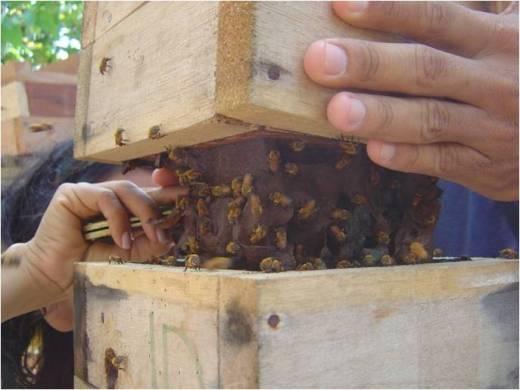 Criação de abelhas. Foto: Richardson Frazão