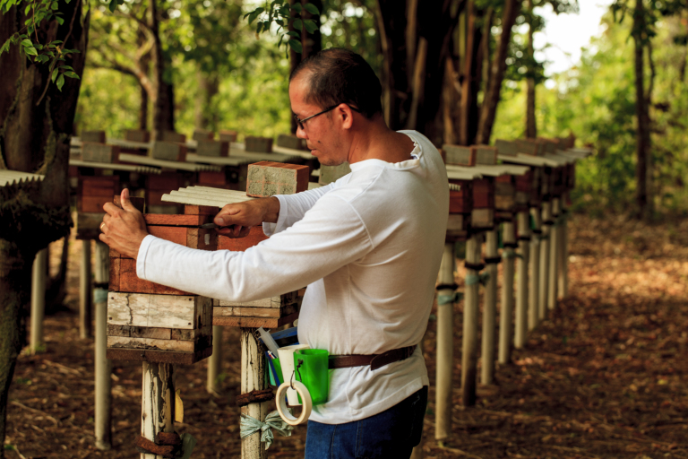 rafael_araujo_manejo-de-meliponc3a1rio-da-abelhas-nativa-da-amazc3b4nia-a-uruc3a7c3ba-amarela-melipona-flavolineata-curuc3a7c3a1-pa.jpg